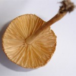 Comment reconnaitre un champignon comestible ?