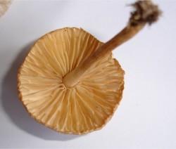 champignons-a-lamelles-non-comestible