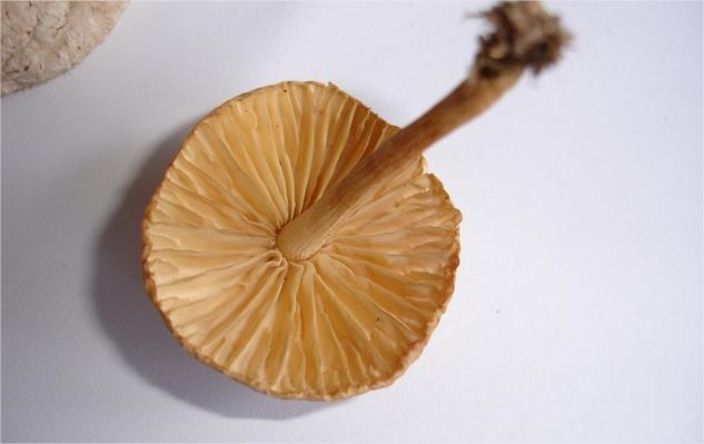Comment reconnaitre un champignon comestible